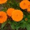Marigold , a medicinal plant