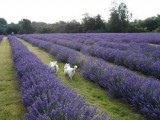 The benefits of lavender on health