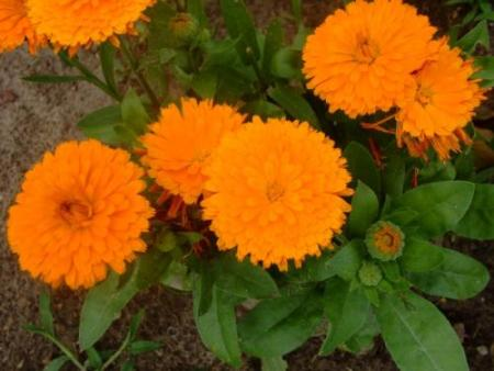 marigold-s